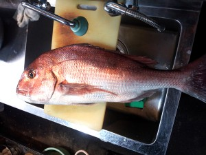 若狭湾海釣り公園みかたでつれた大物の鯛