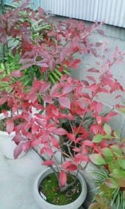 ブルーベリーのすばらしい紅葉